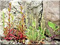 J4180 : Stone wall and wildflowers, Cultra (June 2015) by Albert Bridge