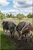 SP5105 : Long Horn Cattle, Christ Church Meadow, Oxford by Christine Matthews