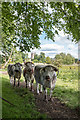 SP5105 : Long Horn Cattle, Oxford by Christine Matthews