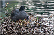 TQ3296 : Coot with Chicks, New River Loop, Enfield by Christine Matthews