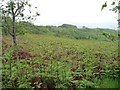 SH5538 : A sea of bracken on the eastern slopes of Moel y Gest by Christine Johnstone