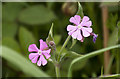 SD6738 : Red Campion (Silene dioca) by Ian Greig