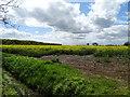 TL2953 : Rapeseed Field by Matthew Chadwick