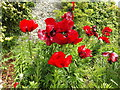 SH5573 : Red Poppies by Richard Hoare
