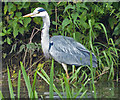 SK6009 : Heron on the River Soar in Thurmaston by Mat Fascione