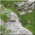 SD8964 : Peregrine Falcons at Malham Cove by Jonathan Thacker