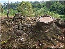 SX9065 : Tree stumps, Chapel Hill Pleasure Grounds by Derek Harper