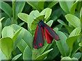 ST3086 : Cinnabar Moth by Robin Drayton