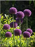 SX9050 : Allium, Coleton Fishacre by Derek Harper