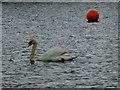 G7091 : Swan, Shanaghan by Kenneth  Allen