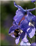 SX9050 : Bee on Delphinium, Coleton Fishacre by Derek Harper