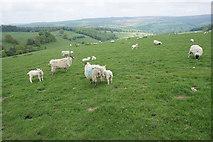 SK2468 : Sheep on Calton Pastures by Bill Boaden