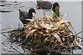 SD4214 : Moorhen nest with eggs at Martin Mere by Graham Hogg