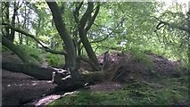 SK2563 : A Long Fallen Tree by Tim Hodgins
