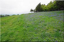 SK2369 : Bluebells by Moatless Plantation by Bill Boaden