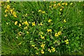 TL7835 : Hedingham Castle and Gardens: Bird's foot trefoil growing in profusion by Michael Garlick