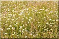 SO8845 : Ox-eye daisies by Philip Halling