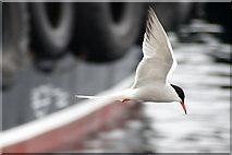 HU4741 : Common Tern (Sterna hirundo), Lerwick harbour by Mike Pennington