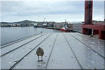 HU4642 : Gull chicks, Holmsgarth, Lerwick by Mike Pennington