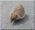 SS6748 : Hedgehog, in Slattenslade Lane by Roger Cornfoot