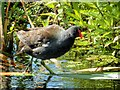 SD7807 : Moorhen (Gallinula chloropus) on Manchester Bolton and Bury Canal by David Dixon