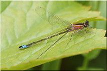 SJ3999 : Female Blue-tailed Damselfly (Ischnura elegans), Melling by Mike Pennington