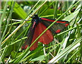SK2019 : Cinnabar moth next to the Trent & Mersey Canal by Mat Fascione