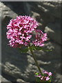 SD4972 : Red Valerian, Warton Crag by Karl and Ali