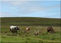 SX6781 : Dartmoor ponies by the roadside by Neil Theasby