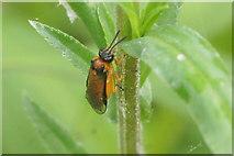 SJ3999 : Turnip Sawfly (Athalia rosae), Melling by Mike Pennington