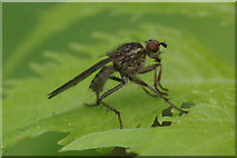 SJ3999 : The dung-fly Scatophaga stercoraria, Melling by Mike Pennington