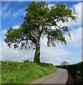 SO5825 : Walker dwarfed by a tree north of Bridstow by Jaggery