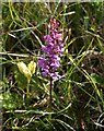 SU0429 : Fragrant Orchid on the downs by Derek Harper