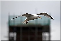 SJ3290 : European herring gull, Seacombe by El Pollock