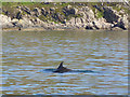 NM5799 : Bottlenose Dolphin off Leir Mhaodail by Oliver Dixon