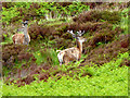 NG7003 : Red Deer at Doune by Oliver Dixon