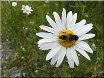 H5341 : Fly on a daisy, Mullynavale by Kenneth  Allen