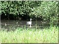 SK3128 : A swan on Old Trent Water by Ian Calderwood