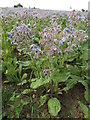 TM3672 : Borage Crop off Peasenhall Road by Adrian Cable