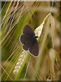 NT8240 : A Ringlet (Aphantopus hyperantus) by James T M Towill