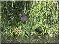 TQ3677 : Folkestone gardens: moorhen with chick by Stephen Craven