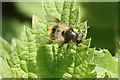 SJ4094 : The hoverfly Cheilosia illustrata, Croxteth Country Park by Mike Pennington