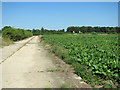 TL9677 : Concreted farm track beside sugar beet crop field by Evelyn Simak