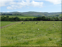 NY6627 : Field with cattle near Knock village by Oliver Dixon