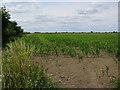 TL4269 : Maize by Cow Lane by Hugh Venables