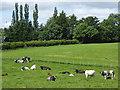 NY6822 : Cattle in field near Clickham Farm by Oliver Dixon