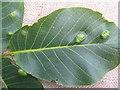 NT6475 : Walnut leaf galls - upper surface by M J Richardson