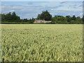 NT6476 : Wheatfield near Belton House by M J Richardson