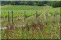 TQ0548 : Vineyard, Albury Downs by Alan Hunt