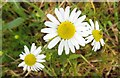 SU5393 : Daisies by the Thames Path by Steve Daniels